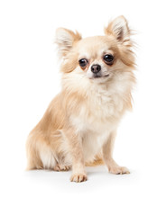 Chihuahua Isolated On White Ba...