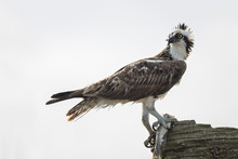 Osprey Eating A Fish - Melbour...