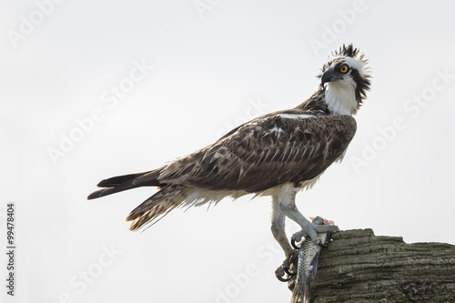 Spoed Foto op Canvas Natuur Osprey Eating a Fish - Melbourne, Florida