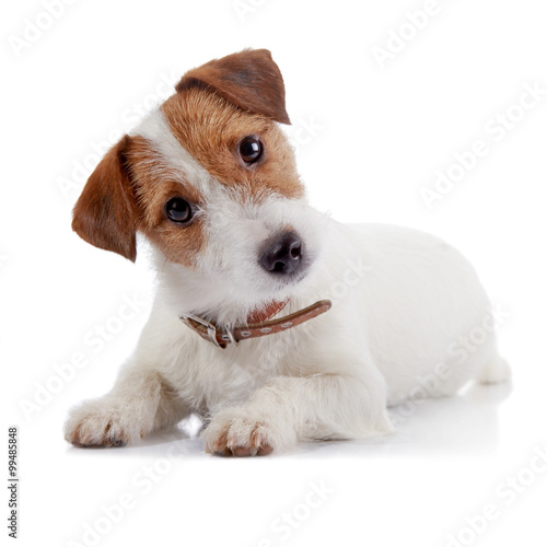 Foto  Small lovely doggie of breed a Jack Russell Terrier