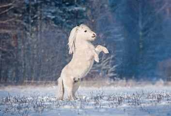 Fototapeta na wymiar Beautiful white shetland pony rearing up in winter
