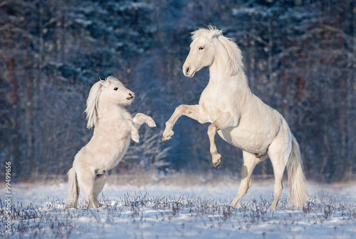 Photo  Beautiful white andalusian stallion playing with little shetland pony in winter