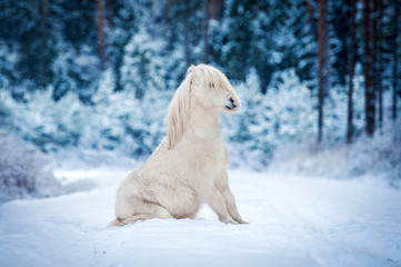 White shetland pony sitting in the winter forest