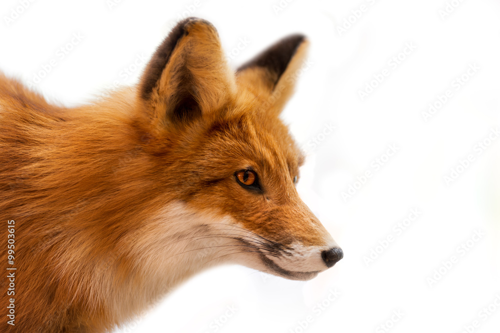 Fototapety, obrazy: Head of Red Fox Isolated on White / Close up of a red fox isolated on white background