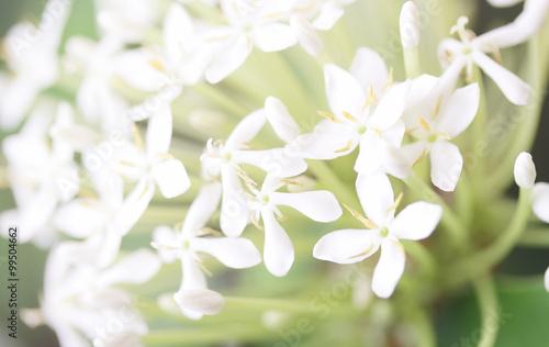 Fotografie, Obraz  West Indian Jasmine flower