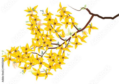Fotografie, Obraz forsythia flower ,yellow flower branch  heart sharp design on white background,v