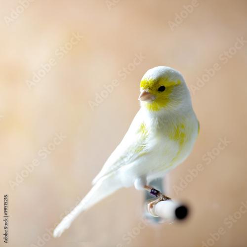 Fotografia  Yellow Birds in The Garden