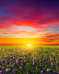 Obraz Texas Wildflowers