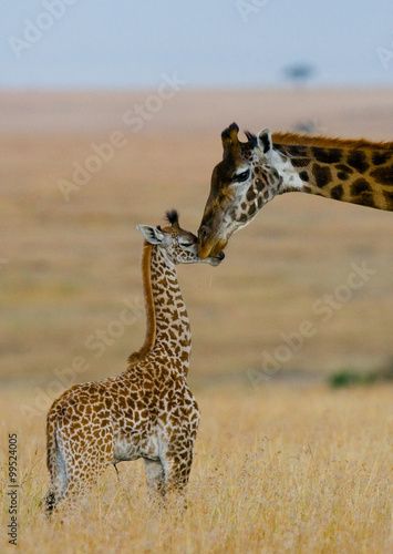 Vászonkép  Female giraffe with a baby in the savannah