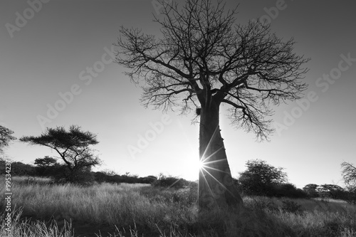 Large baobab tree without leaves at sunrise with clear sky artis