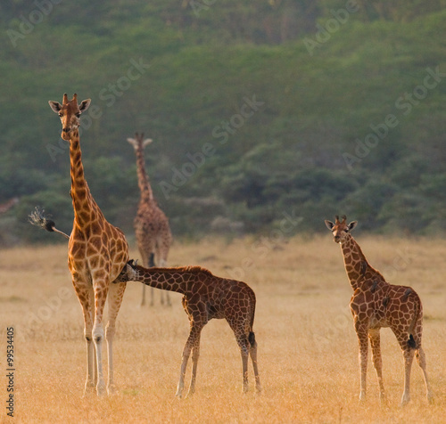Poster Giraffe Female giraffe with a babys in the savannah. Kenya. Tanzania. East Africa. An excellent illustration.