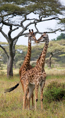 FototapetaTwo giraffes in savanna. Kenya. Tanzania. East Africa. An excellent illustration.