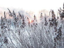 Winter Background. Spikelets C...