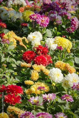 Poster de jardin Dahlia Dahlia garden in various colors