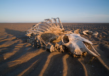 Full Sheep Skeleton And Skull Washed Up On A Rippled Sandy Beach