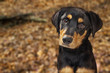 canvas print picture Closeup of Rotweiller Puppy in Autumn Leaves