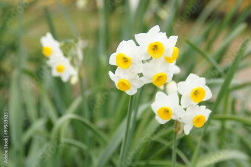 Papiers peints Narcisse 日本水仙