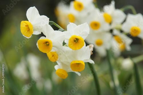 Staande foto Narcis 日本水仙