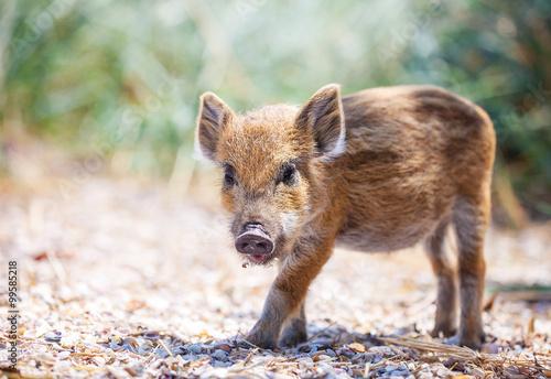 Fotografia Wild piglet standing on a path