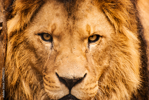 Closeup portrait of an African Lion