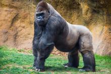 Male Gorilla.