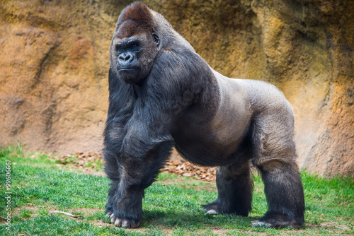 Male gorilla. Canvas Print