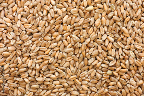 Whole wheat grain kernels background