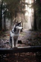 Dog Siberian Husky Walking