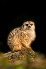 Cute meerkat animal resting on a tree branch facing the camera on a black background