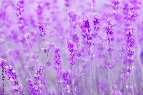 Fototapeta field lavender flowers obraz na płótnie