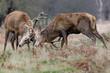 Red Deer rut (Cervus elaphus) stags fighting, sparring or dueling