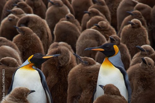 Adult King Penguins (Aptenodytes patagonicus) standing amongst a large group of nearly fully grown chicks at Volunteer Point in the Falkland Islands.