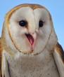 Smiling Barn Owl