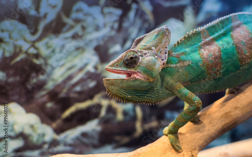 Poster Chamaleon Chameleon In Captivity on a Branch Staring