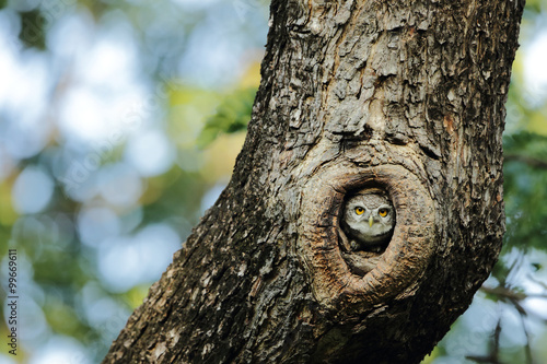 Photo Owl hiding in the tree