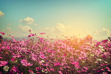 FototapetaLandscape of cosmos flower field with sunlight. vintage color tone