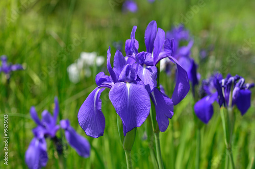 カキツバタ 春 京都, Japanese iris, kakitsubata flowers.