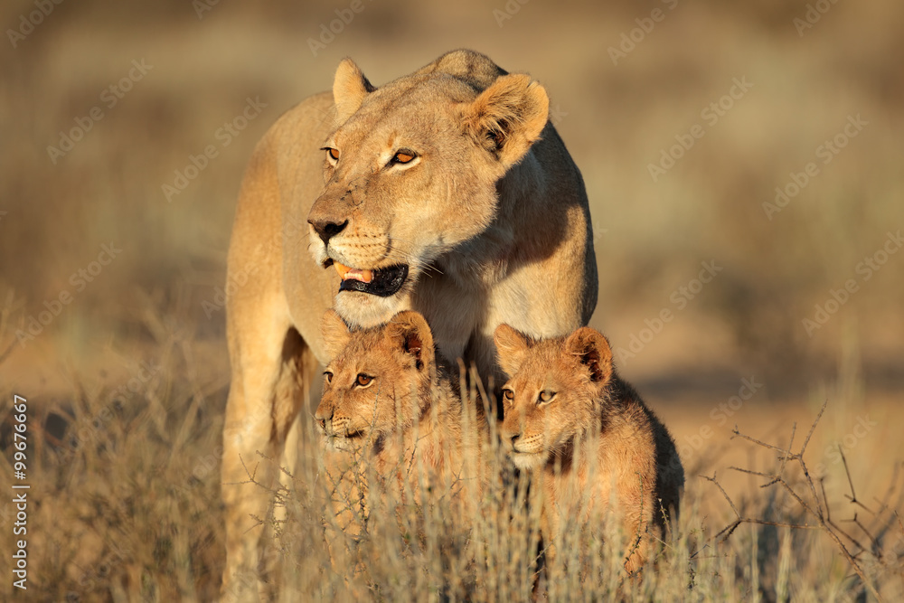 Fototapeta Lioness with young lion cubs (Panthera leo) in early morning light, Kalahari desert, South Africa.