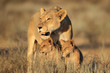 canvas print picture - Lioness with young lion cubs (Panthera leo) in early morning light, Kalahari desert, South Africa.