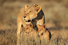Lioness With Young Lion Cubs (...