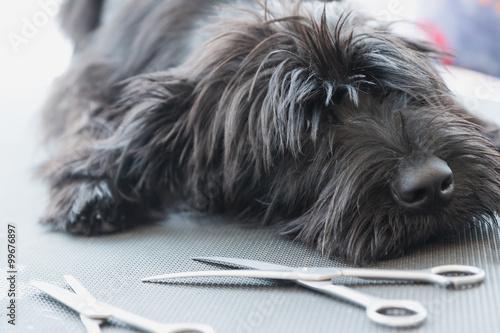 Fotografía  Cachorros Schnauzer perro acostado en la tabla de la preparación