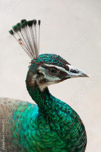 Foto op Aluminium Pauw peacock in close-up