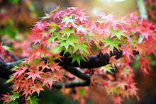 Colored Japanese Maple Leaf