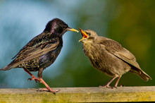 Starling And Fledgling