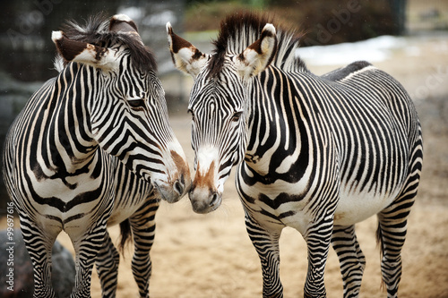 Couple of zebras playing on the ground  - 99697616