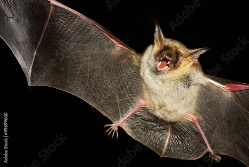 Fotografie, Obraz  Greater mouse-eared bat isolated in black