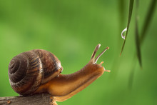 Garden Snail Reaches For A Dro...