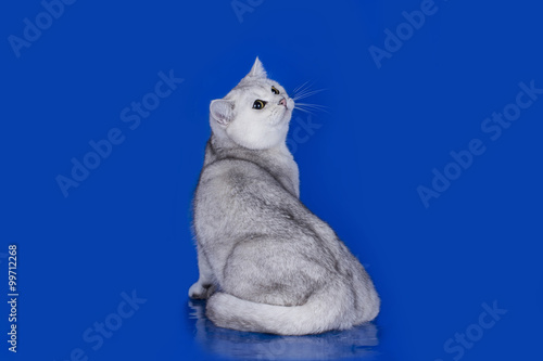 In de dag Ijsbeer Silver Chinchilla on blue background isolated