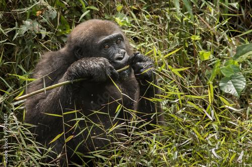 Fototapeta lowland gorilla in Congo/lowland gorilla in Congo