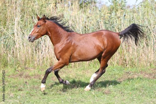 Obraz w ramie Beautiful arabian stallion galloping on summer pasture